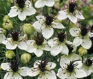 цветки черного тмина